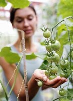 Tomato plants need calcium to produce healthy fruit.