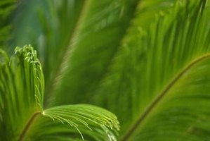 Fronds of a sago palm