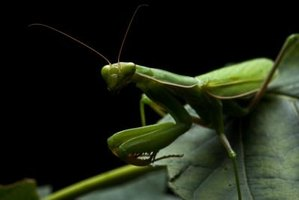 Praying mantis are both beneficial and pests.