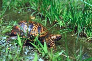 Aquatic turtles often get parasites from their environment.