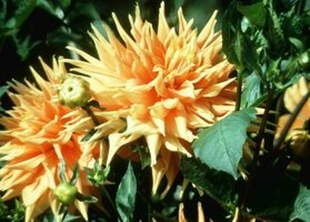 In cooler climates, dahlias grow from tubers stored over the winter.