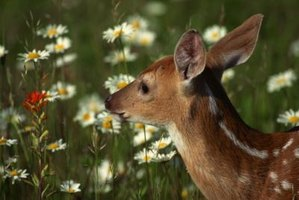 Stop deer from eating the flowers in your yard.