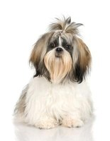 The European Shih Tzu has large, probing eyes and a broad chest.