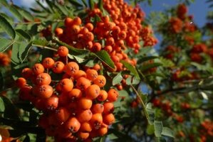 The rowan produces bushels of bright colored fruit that resemble cherries.