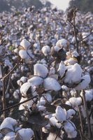 Cotton was first planted in Georgia in 1733 with seed from England.