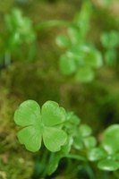Good-luck charm or not, clover can be quite a lawn pest if left untreated.