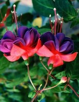 This is an example of a hanging fuchsia flower.