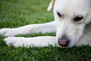Dog spots are caused by chemicals in a dog's urine.