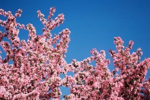 Branches of Japanese flowering cherry loaded with rosy pink blooms.