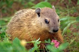 Woodchucks prefer grasses and other vegetation.