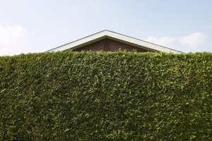 An evergreen hedge will provide you privacy all year.