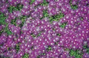 Purple ice plant grows in warm dry climates, making an excellent groundcover.