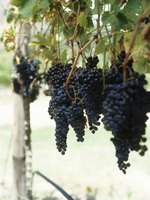 Get your grape vines to produce delicious fruit.