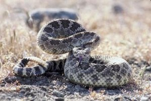 Rattlesnakes make a loud rattling noise with their tails to ward off enemies.