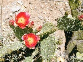 Desert plants tolerate severe temperatures and yield brightly colored flowers.