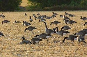 Nutrient-rich goose manure could be put to use as a plant fertilizer.