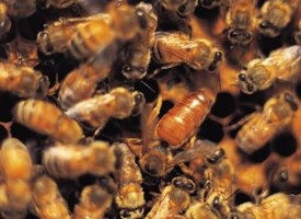 Honey bees keep their stinger hidden in the tip of their abdomen.