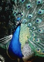 The male peacock has rich blue and green feathers.