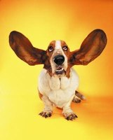 Regularly cleaning your dog's ears helps prevent infections.