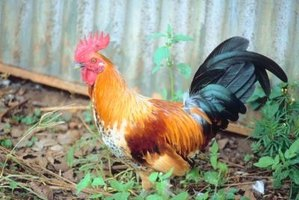 Roosters are amusing pets with delightful antics.