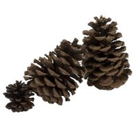 Pine cones are familiar gymnosperm features for reproduction.