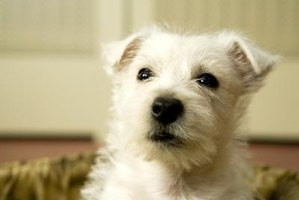 Stop your Westie's itching to keep him healthy.