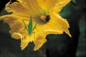 A katydid perching on a pumpkin blossom.