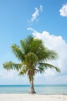 Palm trees are susceptible to the disorder frizzle top.