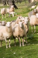 Sheep's wool will felt or mat right on them when they are not sheared and are exposed to rain.