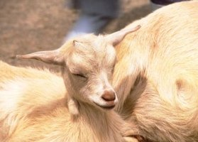 Goats can get painful infected udders.