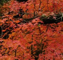 Japanese maples display picturesque branches with vivid fall foliage.