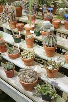 Grow your own cactus from cuttings.