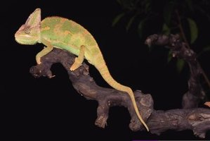 Female veiled chameleons live about five years; males, about eight.