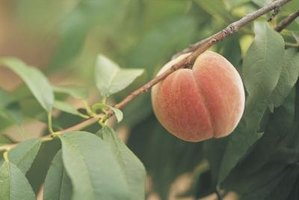 Rotten fruit on peach trees should be treated as a serious problem.