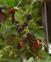 Blackberry fruits form on year-old canes that die thereafter in winter.