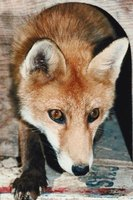 Keep foxes from denning in the yard.