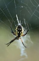 Black and yellow garden spiders can be found in Tennessee.