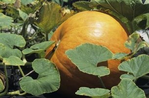 Once pumpkins ripen on the vine, harvest them and store for longevity.