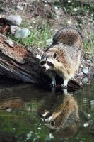 Raccoons live throughout the United States.