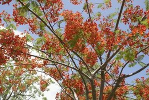 The royal poinciana or flamboyant tree in bloom.