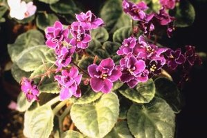 African violet are a deep purple that would complement an eggplant and cream theme.
