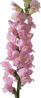 Snapdragons are showy flowers, but can succumb to fungal infections.