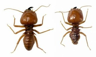 Termites can do enormous damage to your home -- building with a resistant wood helps protect it.