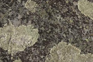Lichen are sensitive to pollution and only grow where environmental conditions are healthy.