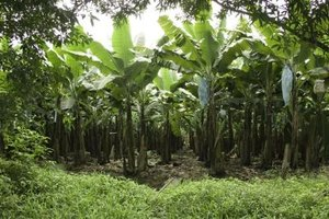 Good management of large plantations enhances their commercial value.