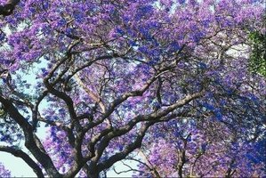 A curly branched jacaranda tree is spectacular when it blooms in the spring.