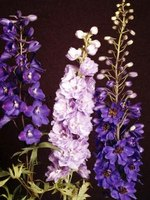 Delphiniums come in many colors.