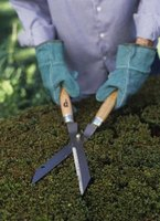 Pruning helps maintain the shape of a shrub, but may take the golden leaves off of the plant.
