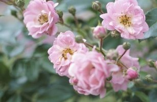 Roses that start as bare root plants may take a little time to catch up to those sold in containers.