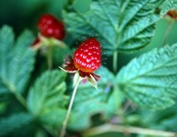 Raspberry plants form large colonies.